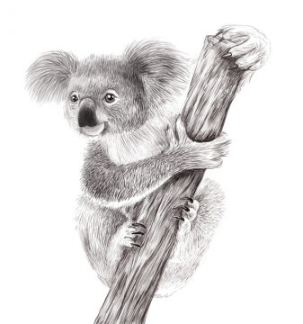 koala_10.12.jpg